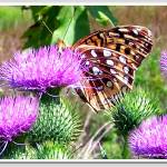 """butterfly on thistle"" by sherryswest"