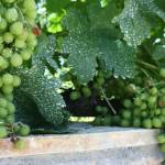 """Croatian Grapes"" by jforman"