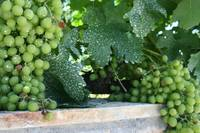 Croatian Grapes