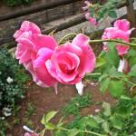 """Pink Antique Roses"" by Cayce_Dagenhart"