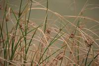 Dried Grass on pond