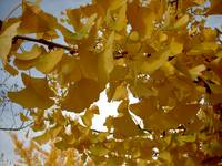 Peering Through the Ginkgo