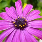 """Purple Daisy"" by kat_muzic"