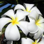 """Hawaiian Plumeria Cluster"" by mikepdx"