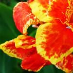 """""""Red Yellow Flower 2"""" by bluetimejt"""