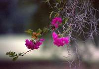 Crepe Myrtle with Spanish Moss