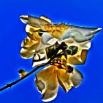 """""""Old Cream Rose 1"""" by LOUISEDIONNE"""