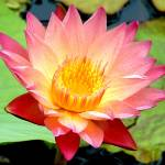 """Water Lily II"" by georgegadsonstudios"