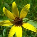 """""""Wild Yellow Sunflower"""" by kat_muzic"""