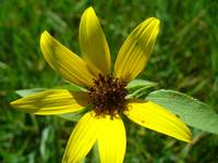 Wild Yellow Sunflower