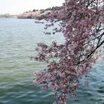 """Cherry Blossom Peak Bloom Washington DC no-1"" by dcphoto"