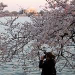 """Cherry Blossom Peak Bloom Washington DC no-2"" by dcphoto"