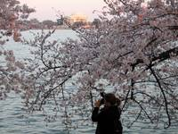 Cherry Blossom Peak Bloom Washington DC no-2