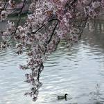 """Cherry Blossom Peak Bloom Washington DC no-4"" by dcphoto"