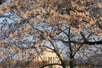 Cherry Blossom Peak Bloom Washington DC no-5