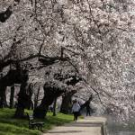 """Cherry Blossom Peak Bloom Washington DC no-12"" by dcphoto"