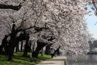 Cherry Blossom Peak Bloom Washington DC no-12