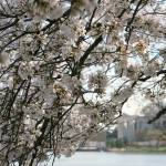 """Cherry Blossom Peak Bloom Washington DC no-13"" by dcphoto"