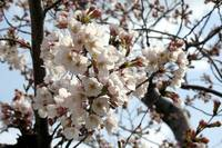 Cherry Blossom Peak Bloom Washington DC no-14