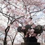 """Cherry Blossom Peak Bloom Washington DC"" by dcphoto"