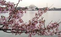 Cherry Blossom Peak Bloom Washington DC no-22