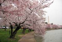 Cherry Blossom Peak Bloom Washington DC no-28