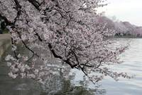 Cherry Blossom Peak Bloom Washington DC no-31