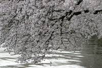 Cherry Blossom Peak Bloom Washington DC no-35