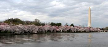Cherry Blossom Peak Bloom Washington DC no-37