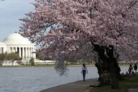 Cherry Blossom Peak Bloom Washington DC no-38