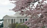 Cherry Blossom Peak Bloom Washington DC no-47