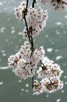 Cherry Blossom Peak Bloom Washington DC no-48