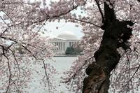 Cherry Blossom Peak Bloom Washington DC no-52