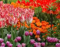 Tulips Color Riot