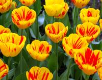 up close yellow and red tulips