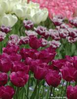 Purple White and Pink Tulips