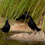 """The Three Grackles"" by shzimmerman"
