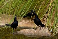 The Three Grackles