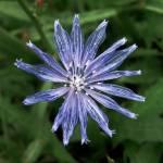 """""""Chicory"""" by KentuckyRanger"""