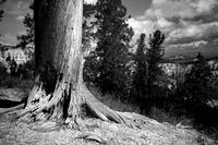 Old Tree in Bryce Canyon