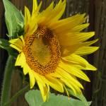 """sunflower still life"" by artsyfart66"