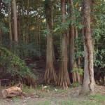 """Cypress in the Swamp"" by alleymarziacat"