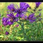 """Purple wild flower and bee"" by sherryswest"
