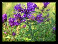 Purple wild flower and bee
