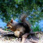 """Squirrel  Having Lunch By The Lake"" by JoannHansen"