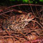 """Brown Toad"" by DavidVan"