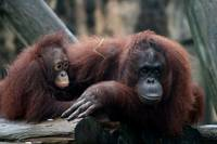 Mother & Baby Bornean Orangutan