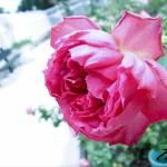 """Red Rose"" by tiffanysuzanne"