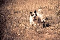 Small dogs running
