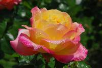yello and pink rose after rain